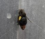 DSCN7682 - ギメッキと寄生ハチ幼虫(縮).JPG